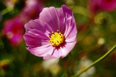 The coreopsis. A beautiful coreopsis flower of pink royalty free stock photos