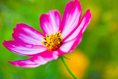 The coreopsis. A beautiful coreopsis flower of pink royalty free stock images