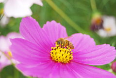 The coreopsis and bee. A beautiful coreopsis flower of pink royalty free stock image