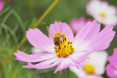 The coreopsis and bee. A beautiful coreopsis flower of pink royalty free stock photo