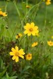 coreopsis blommar yellow Arkivfoto