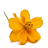 Coreopsis Bloom Royalty Free Stock Photography