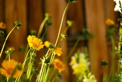 Coreopsis Buds and Blooms royalty free stock photo