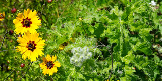 Coreopsis and bull nettles Stock Photos