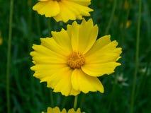 Coreopsis Compositae flower. Coreopsis srummondii flower in jardin Royalty Free Stock Photos