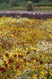 Coreopsis de Tickseed Image libre de droits