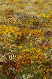 Coreopsis de Tickseed Photos stock