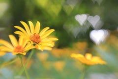 Coreopsis do verão com fundo dos corações Fotografia de Stock Royalty Free