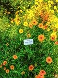 Coreopsis dojrzewający kwiaty zdjęcia royalty free