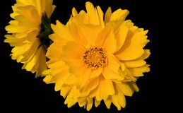 Coreopsis. Family is a daisy-like flower with a genus of some 100 species. It grows wild along roadsides and in grassy fields stock photography