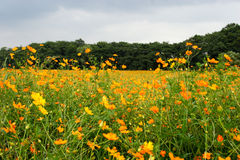 Coreopsis field Stock Photos