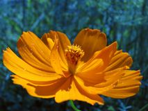 Coreopsis Flower. Garden flower blooming with vibrant color Stock Photos