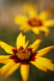 Coreopsis flower. Yellow and red coreopsis flowers stock photography