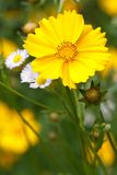 Coreopsis flower on a background of wild flowers vertical Stock Image