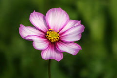 A coreopsis flower. In the field royalty free stock image
