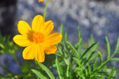 Coreopsis flower Royalty Free Stock Image