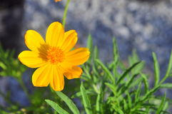 Coreopsis flower Royalty Free Stock Photography