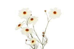 Coreopsis flowers Stock Image