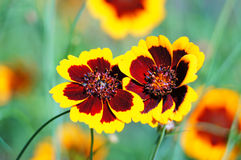 Coreopsis flowers. Graceful garden flowers - coreopsis, calliopsis or tickseed Royalty Free Stock Images