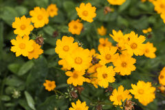Coreopsis flowers. Growing in a garden Stock Images