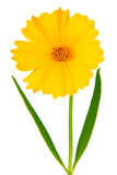 Coreopsis flowers - Latin Coreopsis ferulifolia Royalty Free Stock Images