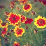 Coreopsis flowers Royalty Free Stock Photos