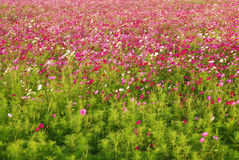 Coreopsis garden Stock Image