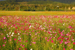 Coreopsis garden in countryside. Royalty Free Stock Photography