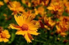 Coreopsis giallo Immagine Stock