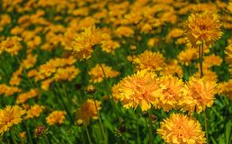Coreopsis grandiflora, or Early sunrise flowers stock image