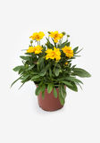 Coreopsis grandiflora in pot, isolated on white Royalty Free Stock Photography