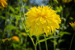 COREOPSIS grandiflora `Sunray` Flower. COREOPSIS grandiflora `Sunray` is a perennial plant appreciated for its permanent flowering of yellow flowers double or royalty free stock photography