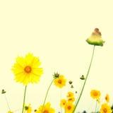 Coreopsis grandiflora Stock Images