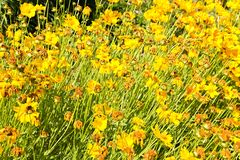 Coreopsis granduflora Stock Photos