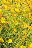 Coreopsis granduflora Royalty Free Stock Photography
