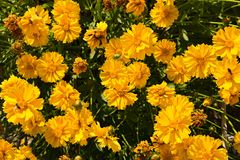 Coreopsis granduflora Stock Photography