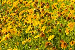 Coreopsis granduflora Royalty Free Stock Photos