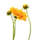 Coreopsis jaune-orange Photographie stock libre de droits