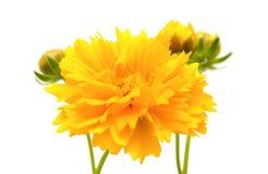Coreopsis jaune-orange Photo libre de droits