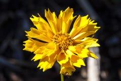 Coreopsis ` Jethro Tull ` zdjęcia stock