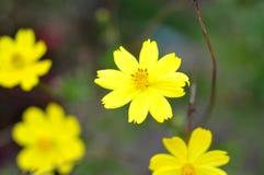 Coreopsis kwiat zdjęcia stock