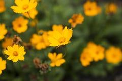Coreopsis kwitnie w ogródzie Zdjęcia Royalty Free