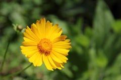 Coreopsis lanceolata Zdjęcia Stock