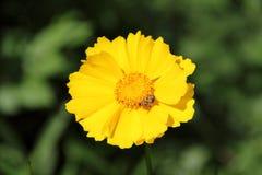 Coreopsis lanceolata Stock Images
