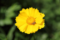 Coreopsis lanceolata. Yellow petals, green simple background, isolated, a pretty flower, beautiful since, Lance-leaved coreopsis Stock Images