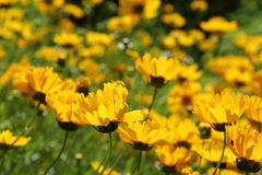 Coreopsis lanceolata. Yellow petals, green simple background, isolated, a pretty flower, beautiful since, Lance-leaved coreopsis Royalty Free Stock Photo