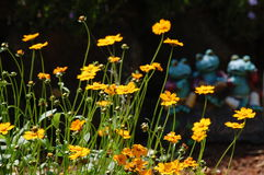Coreopsis orange Images libres de droits