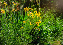 Coreopsis pubescens called star tickseed. Royalty Free Stock Photo