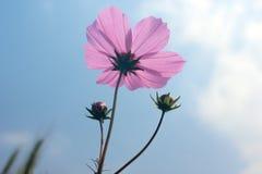 Coreopsis rosa Fotografie Stock Libere da Diritti