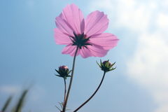 Coreopsis rose Photos libres de droits